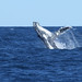 Flickr photo 'Humpback Whale' by: 0ystercatcher.