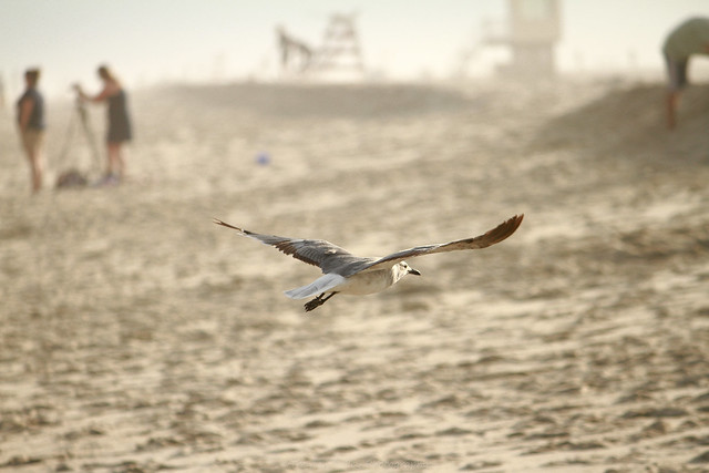 Flying Seagull in Cape May, New Jersey