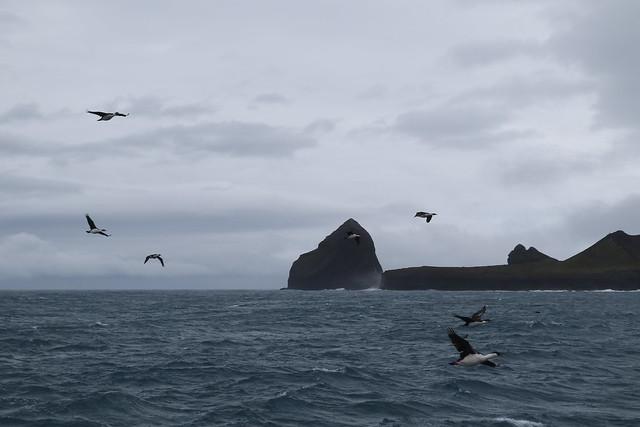 Heard Island Cormorants and Azorella Peninsula