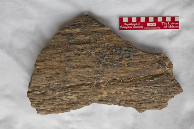 Lepidodendron, Pennsylvanian sandstone, Van Buren County, Tennessee (front)