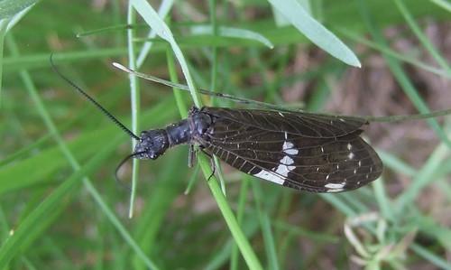 wisconsin chippewa river hwy 8 bruce fishfly dark nigronia serricornis