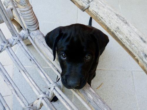 Noha puppy