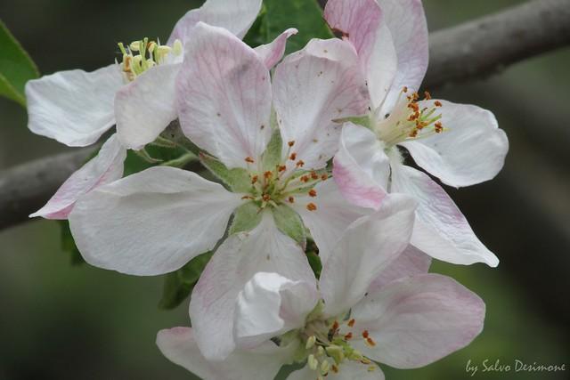 apple blossom - fiore di melo
