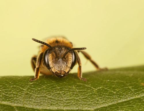 Bee | by IshranI