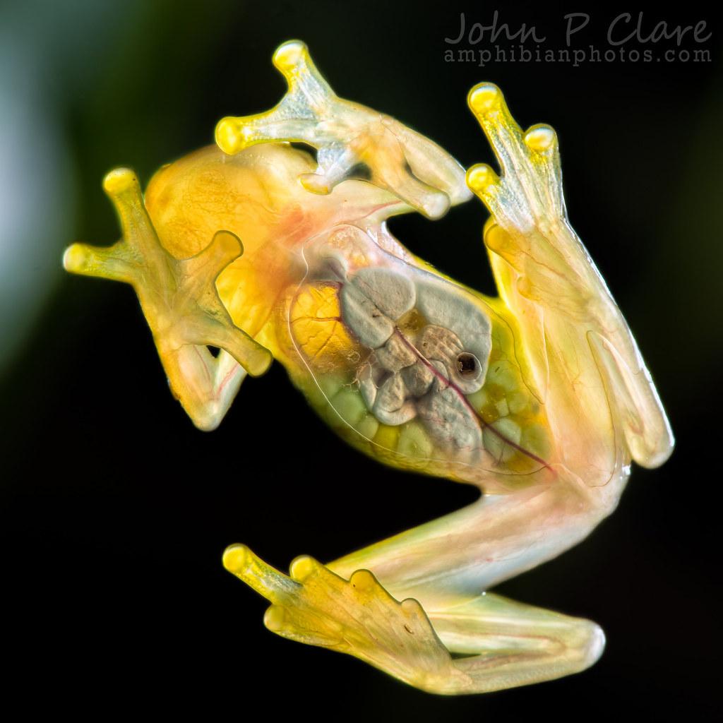 La Palma Glass Frog (Hyalinobatrachium valerioi)