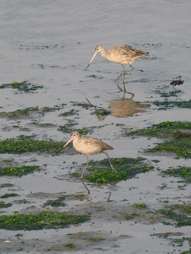 P2420248.jpg Marbled Godwits (Limosa fedoa) | by ldjaffe