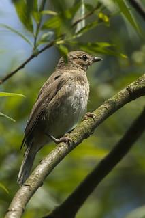 Garden Warbler - Flevoland - Netherlands_5657