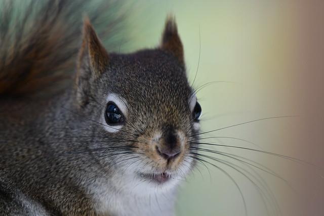 Écureuil roux portrait