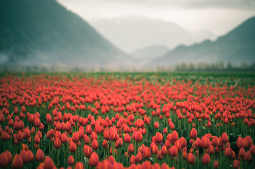 Tulips in the rain | by moonstream