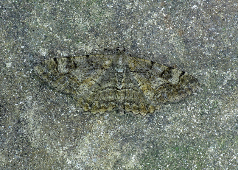 1941 Mottled Beauty - Alcis repandata