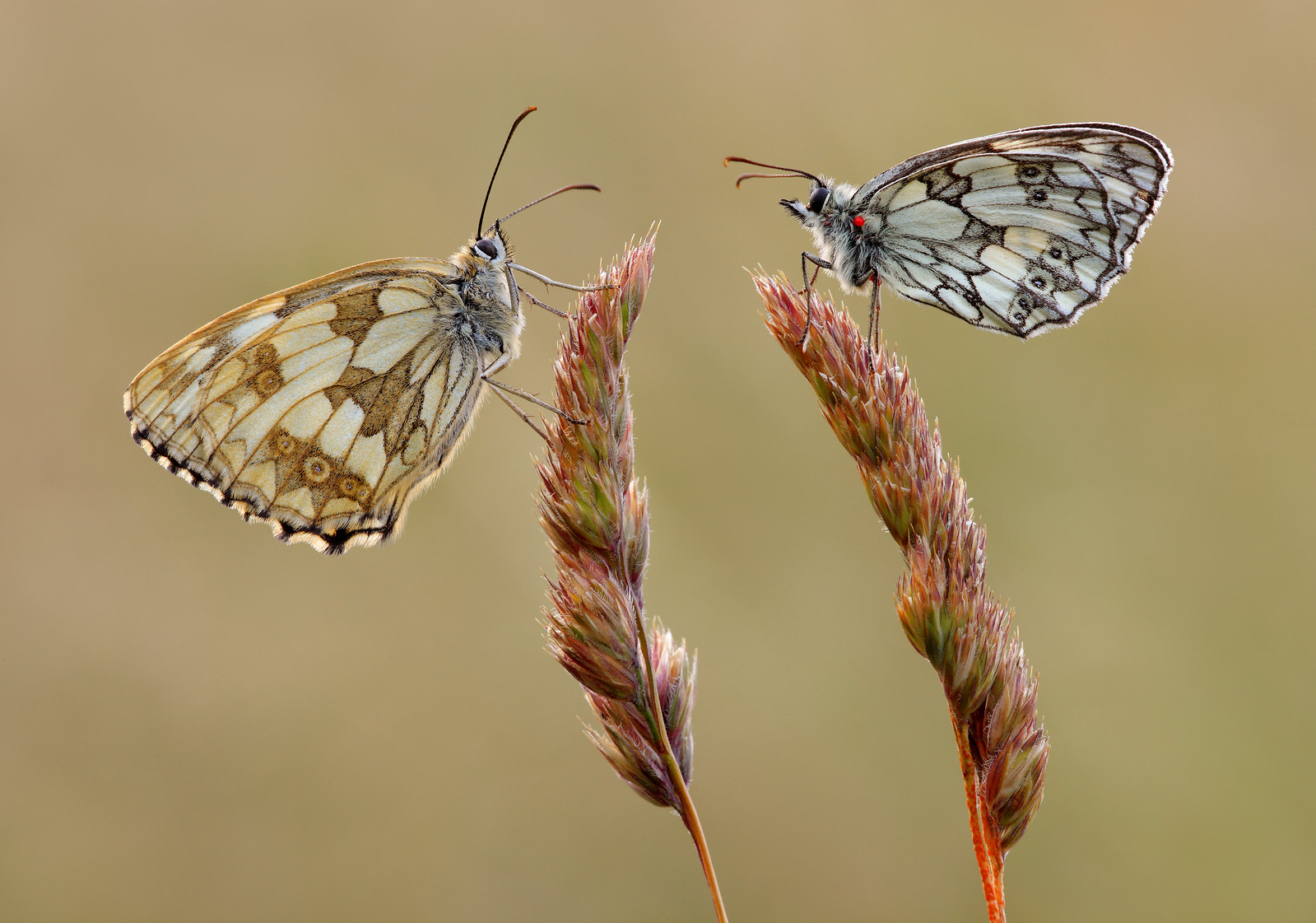 Marbled White, female and male