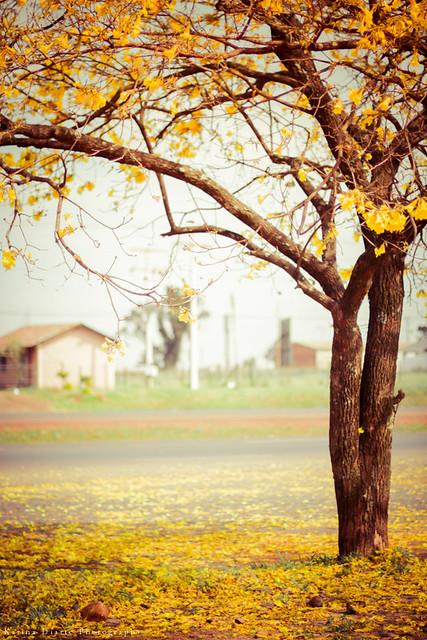 Lapacho amarillo