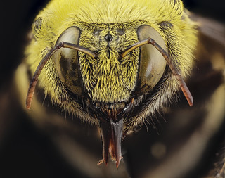 xylocopa india yellow, m, india, face_2014-08-10-11.17.01 ZS PMax | by Sam Droege