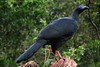 Nearly endemic, Black Guan (Chamaepetes unicolor) by Daniel Mclaren .:. Naturalist Guide CR