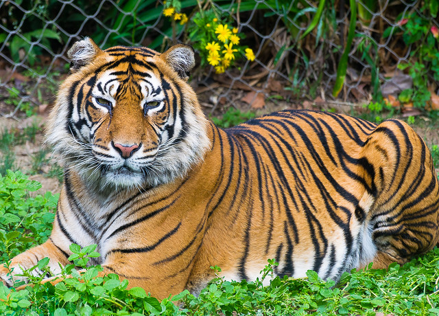 Sumatran tiger (Tigre de Sumatra)
