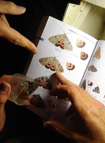 Red Underwing (Catocala nupta), by Peter Alfrey | by Beddington Farmlands
