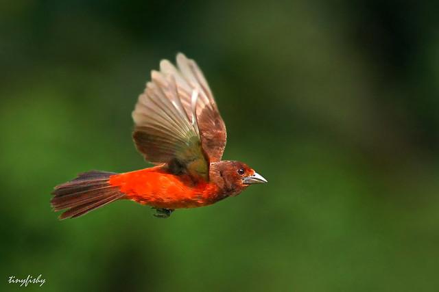 (293a) Crimson-Backed Tanager - [ Gamboa, Panama ]