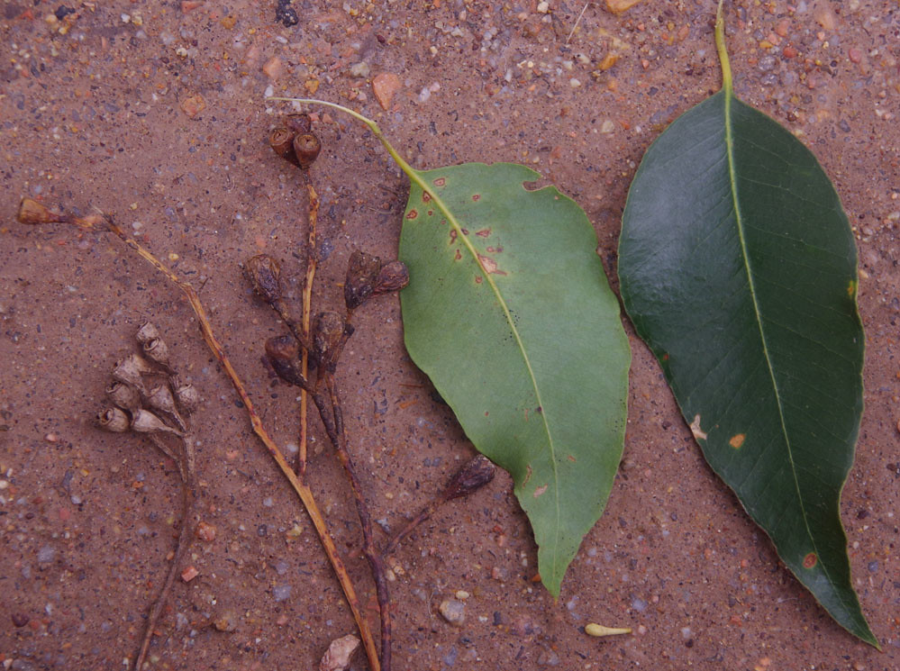 Eucalyptus Microcorys, Atherton, QLD, 08/08/14