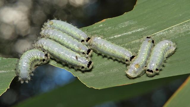 Stinging Nettle Slug Caterpillar (Cup Moth, Limacodidae)