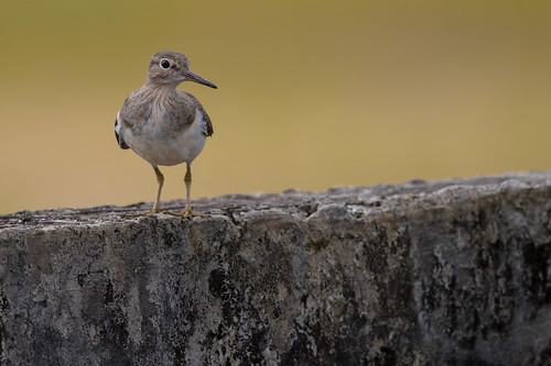 Common Sandpiper | Actitis hypoleucos | Kedidi Pasir | by Paul B Jones