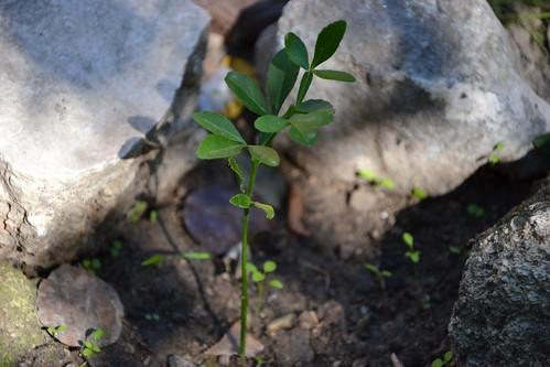 Citrus trifoliata (= Poncirus trifoliata) 32421788374_9ffcb3e88e