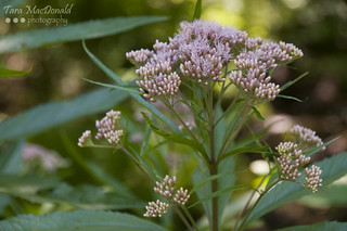 Joe Pye Weed (Eupatorium purpureum) | by Tara MacDonald - www.TaraMacDonald.me