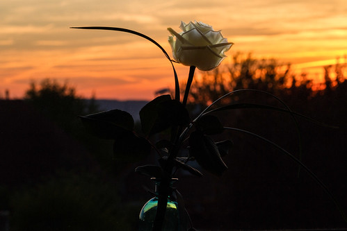 rose deutschland sonnenuntergang niedersachsen nordstemmen blumenundpflanzen
