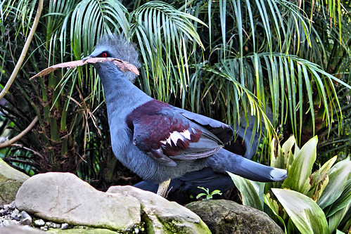 Blue Crowned Pigeon. | by Alexandra Rudge. Peace & love!
