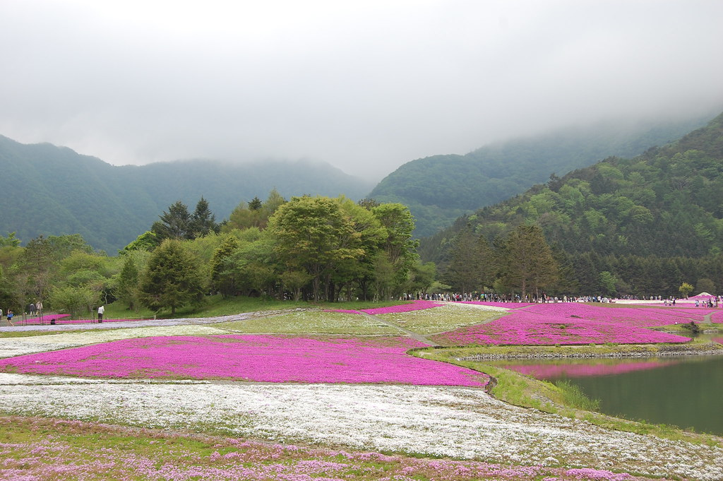 Fuji Shibazakura(Moss Phlox) Festival