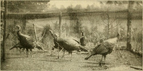 "Image from page 80 of ""Turkeys, all varieties. Their care and management. Mating, rearing, exhibiting and judging turkeys; explanation of score-card judging, with complete instructions"" (1909) 