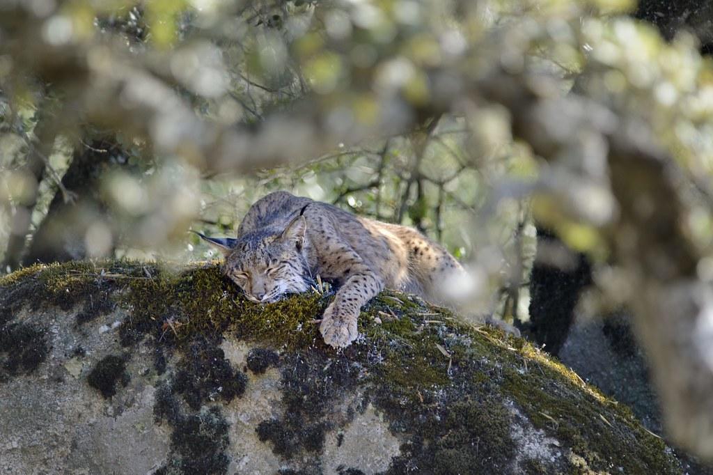 Terra Mater LIVE: The Last Lynx of Spain