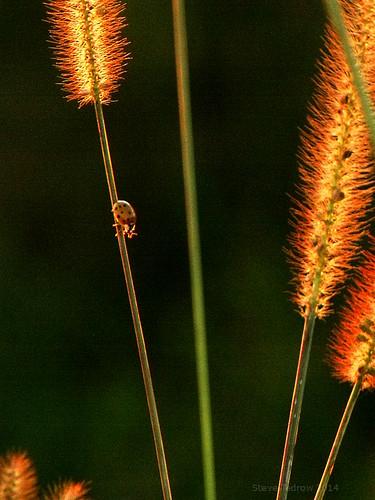 sunset ohio nature grass rural evening countryside dusk ladybug foxtail fultoncounty