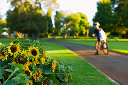 queenspark toowoomba garden sunflowers sunset dusk twilight boy boyhood child path queensland leica summilux 35mm