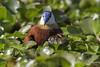 African Jacana (Actophilornis africanus) Lake Nakuru, Kenya 2013 by Ricardo Bitran