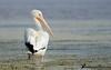 American White Pelican by Guillermo V Soto