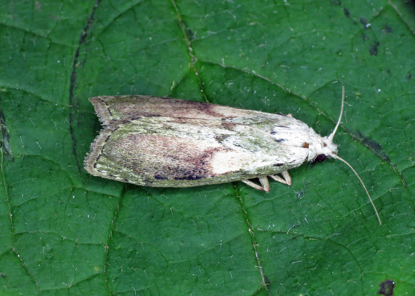 1428 Bee Moth - Aphomia sociella