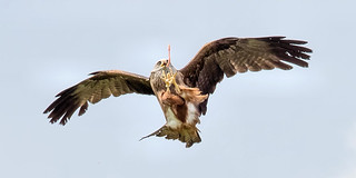 Kite about to take chiken piece 50-200 | by Brian Wadie Photographer