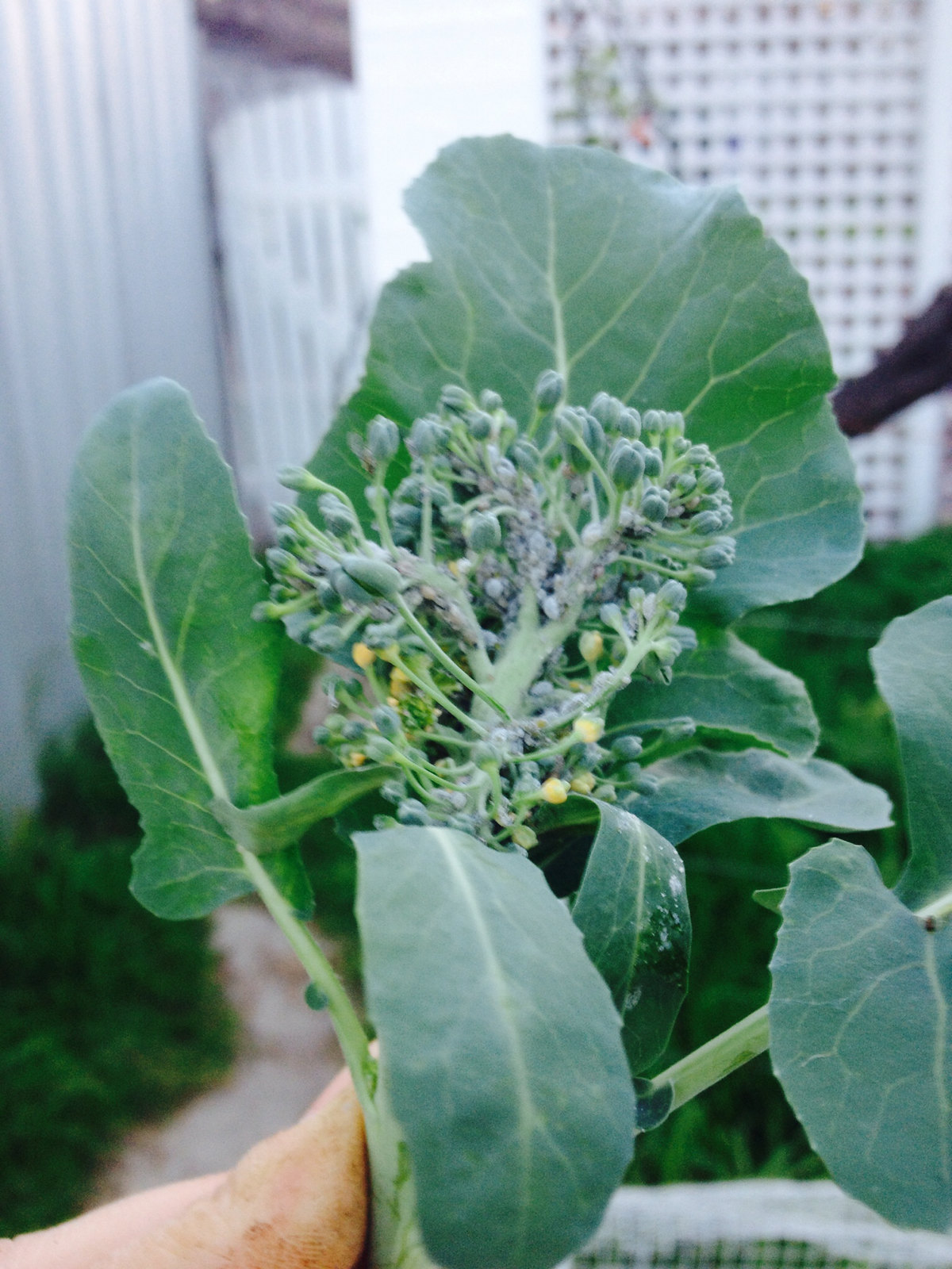 #Aphids on broccoli #pests #garden