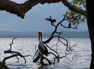 Pelican & shags at Dees Corner at Myall Lakes NSW