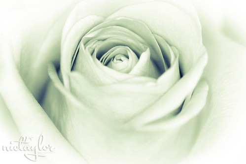Rose | by Nic Taylor Photography