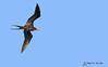 Magnificent frigatebird - Frégate superbe - Fragata magnífica - Fregata magnificens by Rafael G. Sanchez