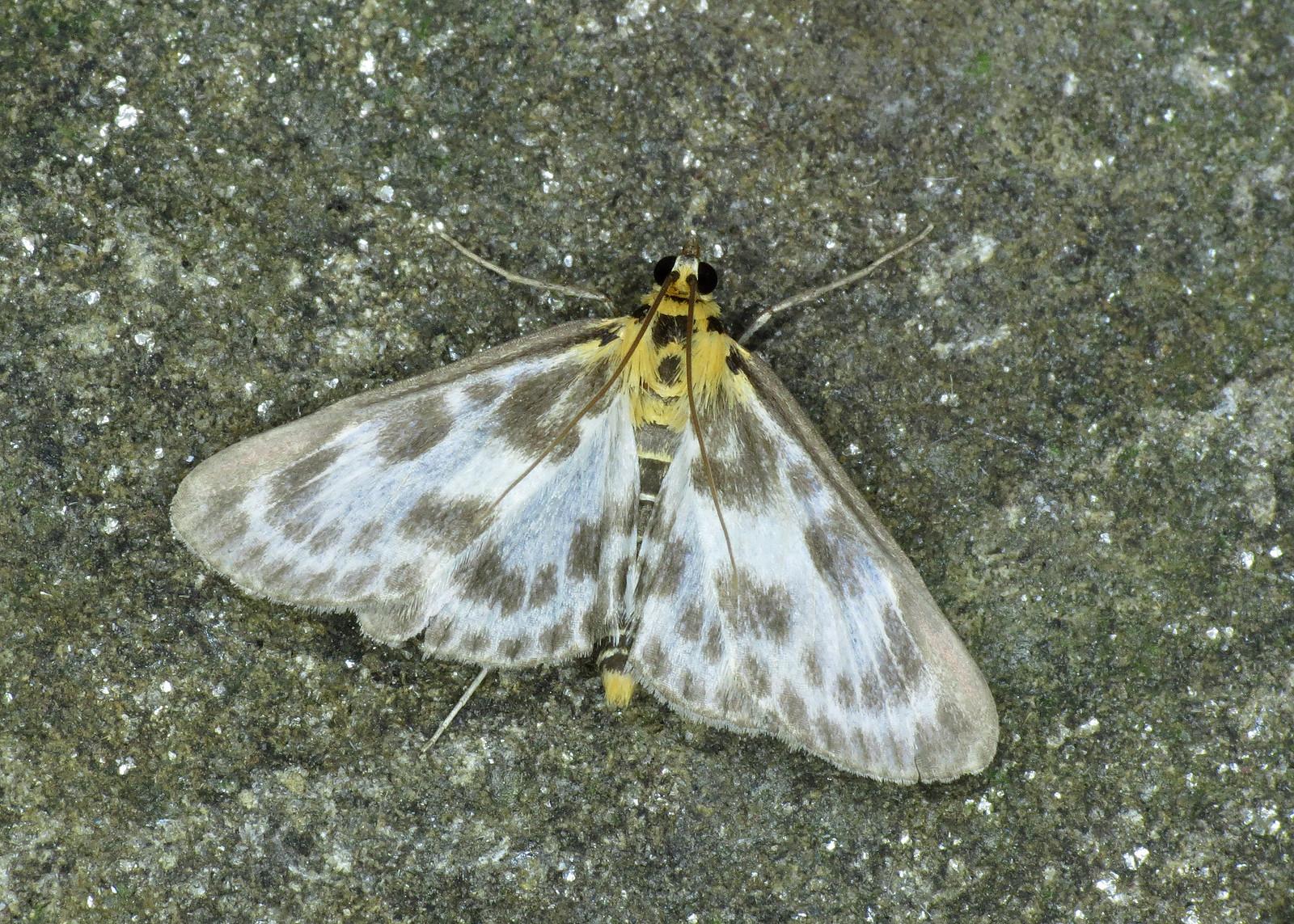1376 Small Magpie - Eurrhypara hortulata