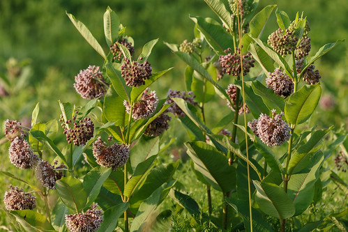Asclepias syriaca (common milkweed) | by tgpotterfield