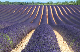 Lavender in Provence | by mikebslone