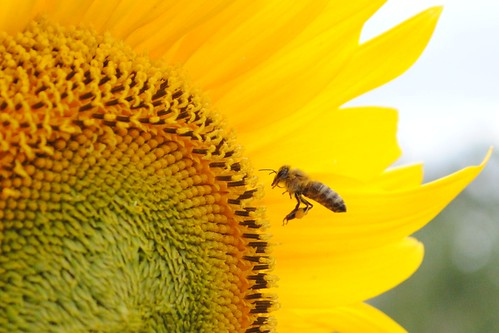 Bee with Nectar and Sunflower | by Abysim