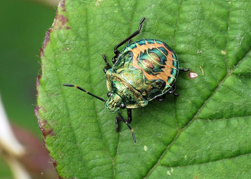 Bronze Shieldbug - Troilus luridus (final instar nymph)
