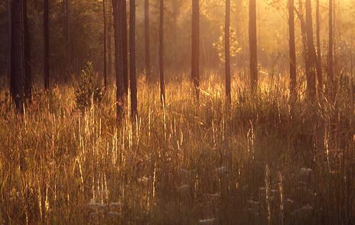 light sunset summer lana nature forest catchycolors landscape woods louisiana pines grasses savanna gramlich abitasprings tnc thenatureconservancy canoneos5d sttammanyparish abitacreekflatwoodspreserve lanagramlich dailynaturetnc14 sept102014