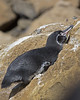 Galapagos Penguin (Spheniscus mendiculus) by Lip Kee