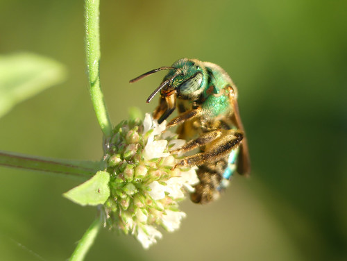 Sweat bee (Agapostemon species) | by celerycelery
