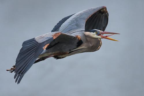 greatblueheron johnheinznwr wildlife nature heinz heron birdinflight bif bird philadelphia pennsylvania unitedstates us nikon d7200